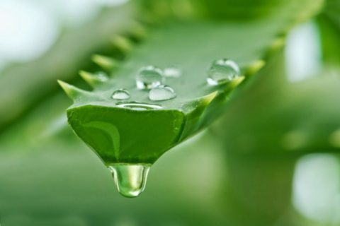 Dapatkan Kebaikan Alami Dari Manfaat Yang Terkanding Di Aloe Vera